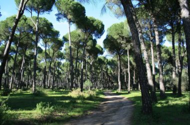 Inventario forestal para tratamiento selvícola en masa de pino piñonero con tecnología Field-Map